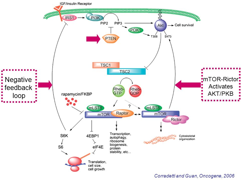 Corradetti and Guan, Oncogene, 2006 Negative feedback loop mTOR-Rictor Activates AKT/PKB