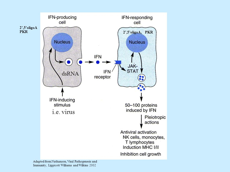 Adapted from Nathanson, Viral Pathogenesis and Immunity, Lippicott Williams and Wilkins 2002 i.e.
