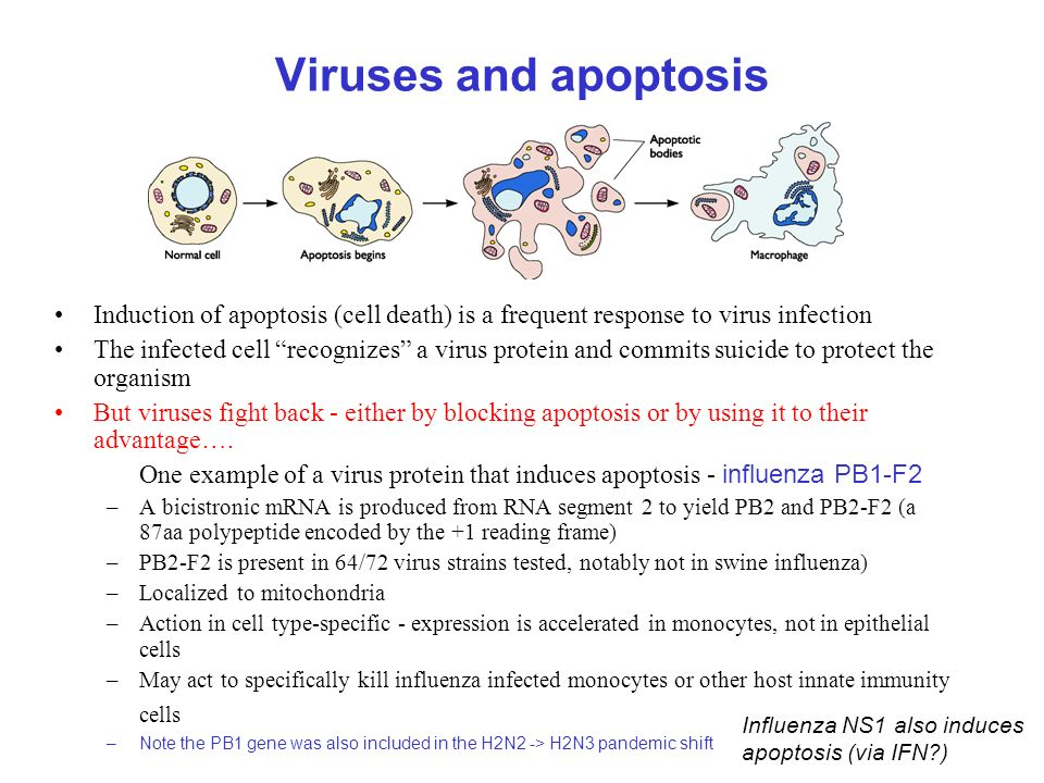 Viruses and apoptosis Induction of apoptosis (cell death) is a frequent response to virus infection The infected cell recognizes a virus protein and commits suicide to protect the organism But viruses fight back - either by blocking apoptosis or by using it to their advantage….