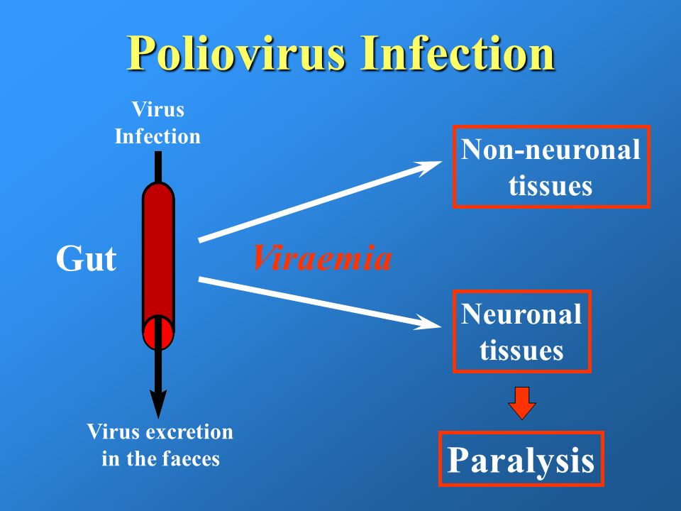 Poliovirus Infection Gut Virus Infection Virus excretion in the faeces Viraemia Non-neuronal tissues Neuronal tissues Paralysis