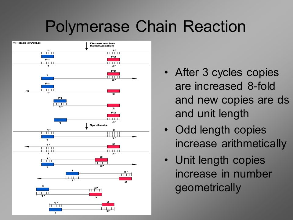 After 1 cycle copies double After 2 cycles copied doubled and new strand is unit length (goes only from primer to primer) Polymerase Chain Reaction