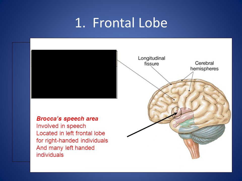 1. Frontal Lobe Brocca's speech area Involved in speech Located in left frontal lobe for right-handed individuals And many left handed individuals