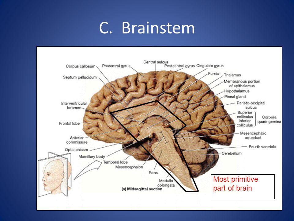 C. Brainstem Most primitive part of brain