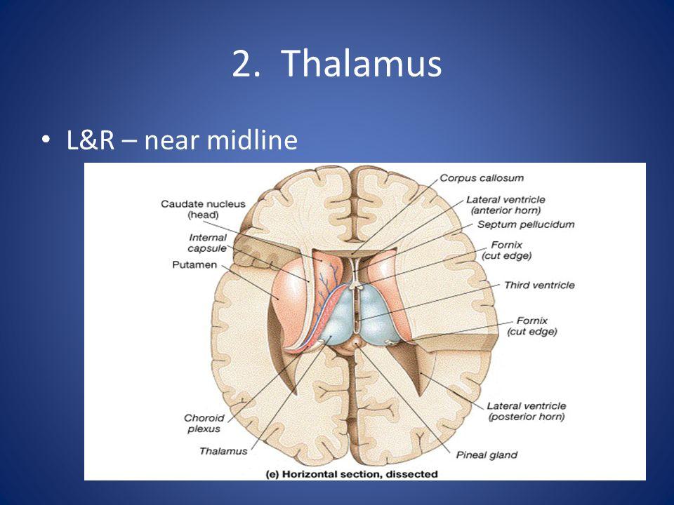 2. Thalamus L&R – near midline