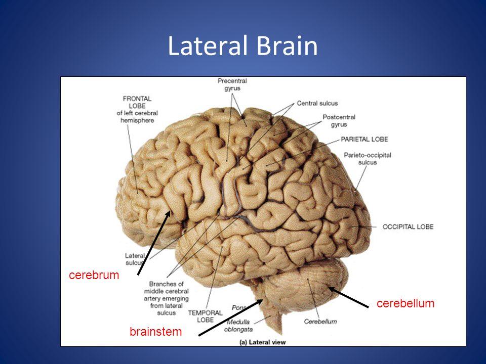 Lateral Brain cerebrum cerebellum brainstem