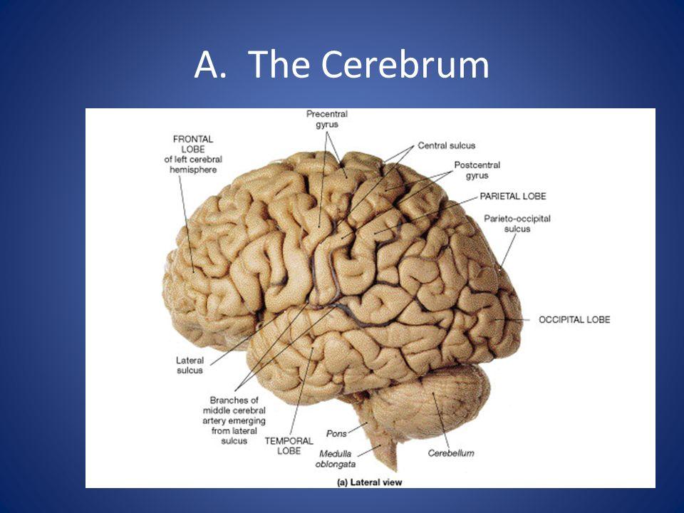 A. The Cerebrum