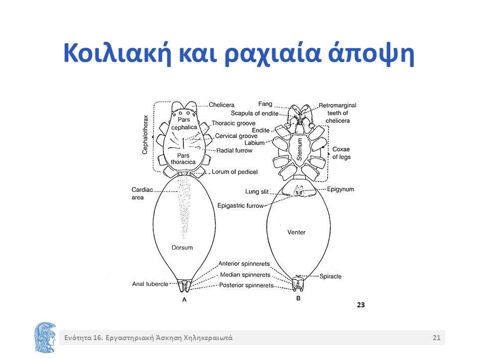 Κοιλιακή και ραχιαία άποψη Ενότητα 16. Εργαστηριακή Άσκηση Χηληκεραιωτά21 23