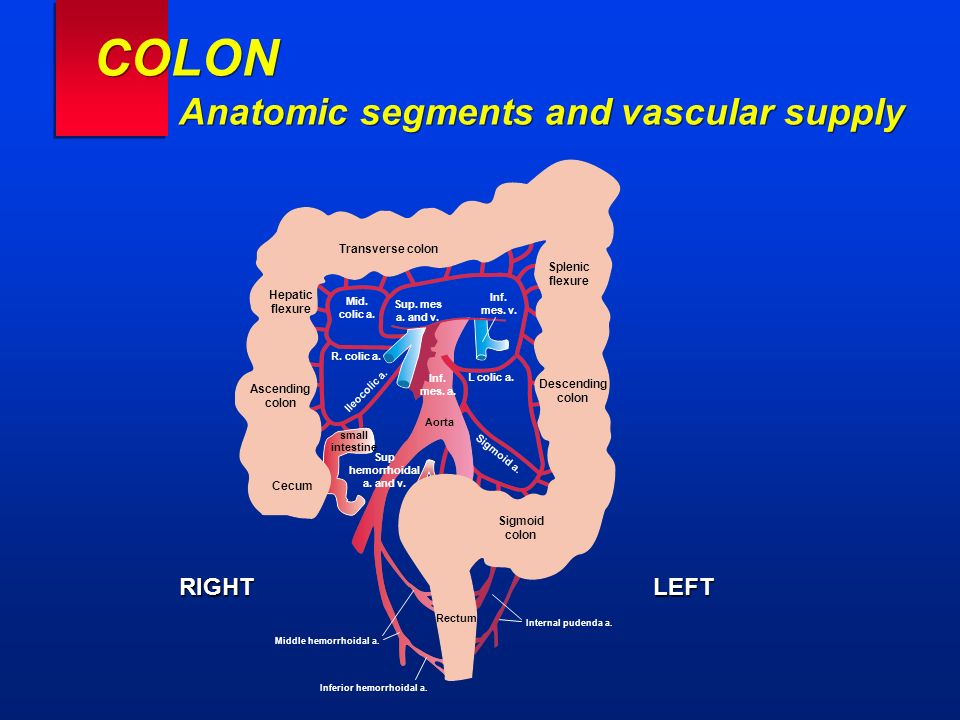 COLON Anatomic segments and vascular supply RIGHTLEFT Ascending colon Descending colon Hepatic flexure Transverse colon Splenic flexure Sigmoid colon