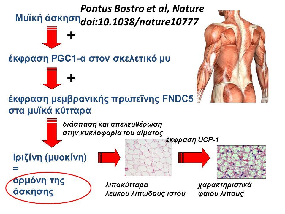 Μυϊκή άσκηση έκφραση PGC1-α στον σκελετικό μυ έκφραση μεμβρανικής πρωτεΐνης FNDC5 στα μυϊκά κύτταρα Ιριζίνη (μυοκίνη) = ορμόνη της άσκησης + διάσπαση και απελευθέρωση στην κυκλοφορία του αίματος + λιποκύτταρα λευκού λιπώδους ιστού έκφραση UCP-1 χαρακτηριστικά φαιού λίπους Pontus Bostro et al, Nature doi:10.1038/nature10777