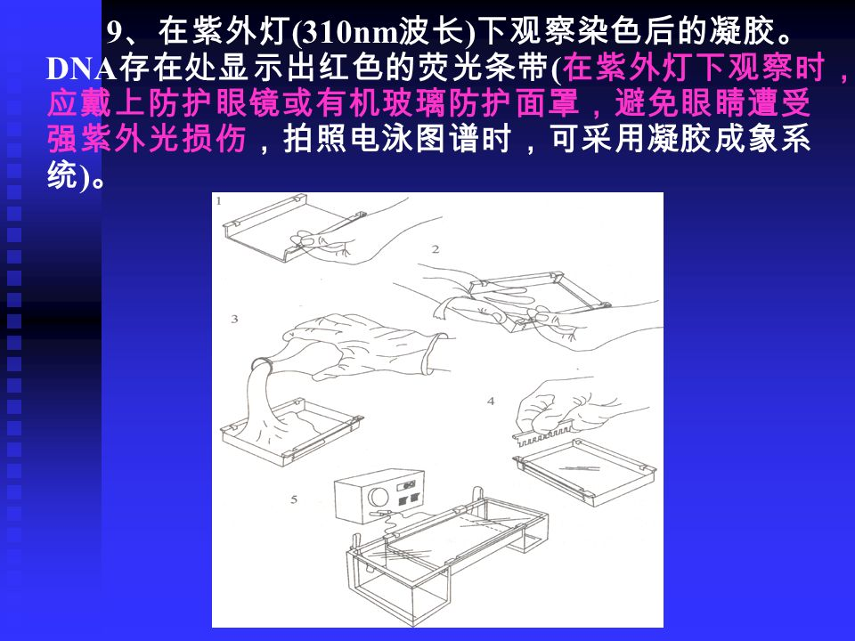 9 、在紫外灯 (310nm 波长 ) 下观察染色后的凝胶。 DNA 存在处显示出红色的荧光条带 ( 在紫外灯下观察时, 应戴上防护眼镜或有机玻璃防护面罩,避免眼睛遭受 强紫外光损伤,拍照电泳图谱时,可采用凝胶成象系 统 ) 。