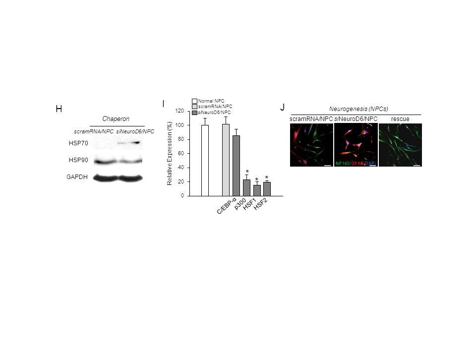 scramRNA/NPC siNeuroD6/NPC GAPDH HSP90 HSP70 H Chaperon I p300 C/EBP-α HSF2HSF1 * * * siNeuroD6/NPC rescue Neurogenesis (NPCs) NF160/GFAP/DAPI J scramRNA/NPC Normal NPC siNeuroD6/NPC scramRNA/NPC