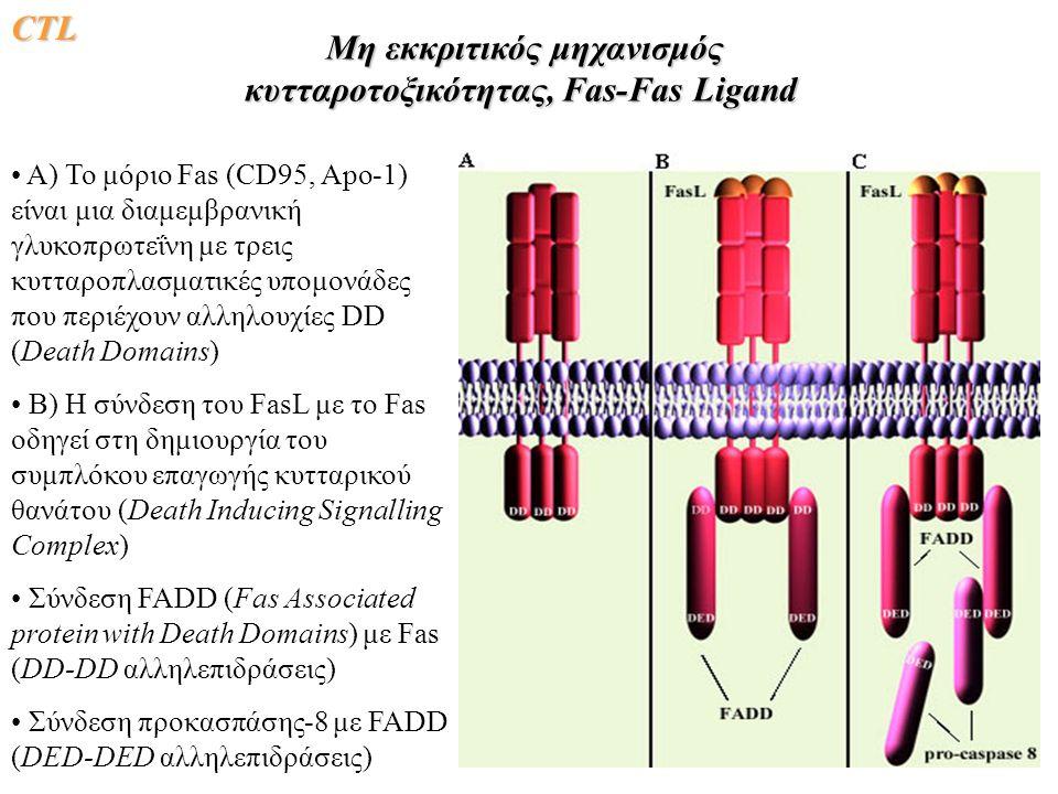 CΤLCΤLCΤLCΤL Μη εκκριτικός μηχανισμός κυτταροτοξικότητας, Fas-Fas Ligand Μη εκκριτικός μηχανισμός κυτταροτοξικότητας, Fas-Fas Ligand A) Το μόριο Fas (CD95, Apo-1) είναι μια διαμεμβρανική γλυκοπρωτεΐνη με τρεις κυτταροπλασματικές υπομονάδες που περιέχουν αλληλουχίες DD (Death Domains) B) Η σύνδεση του FasL με το Fas οδηγεί στη δημιουργία του συμπλόκου επαγωγής κυτταρικού θανάτου (Death Inducing Signalling Complex) Σύνδεση FADD (Fas Associated protein with Death Domains) με Fas (DD-DD αλληλεπιδράσεις) Σύνδεση προκασπάσης-8 με FADD (DED-DED αλληλεπιδράσεις)
