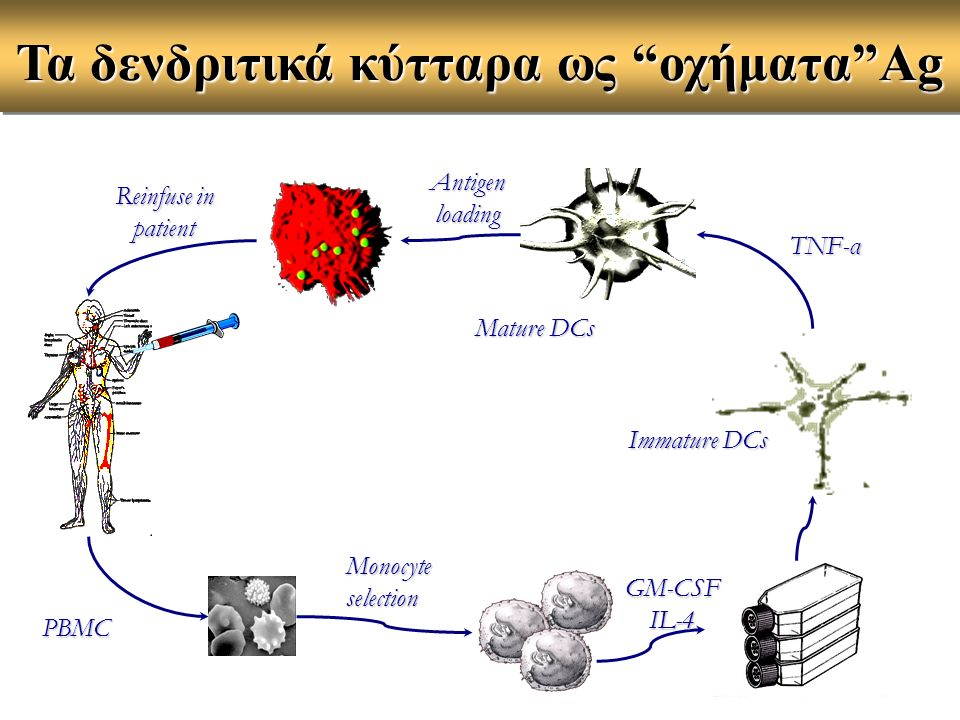Monocyte selection GM-CSFIL-4 Immature DCs TNF-α Antigen loading Mature DCs PBMC Τα δενδριτικά κύτταρα ως οχήματα Ag Reinfuse in patient