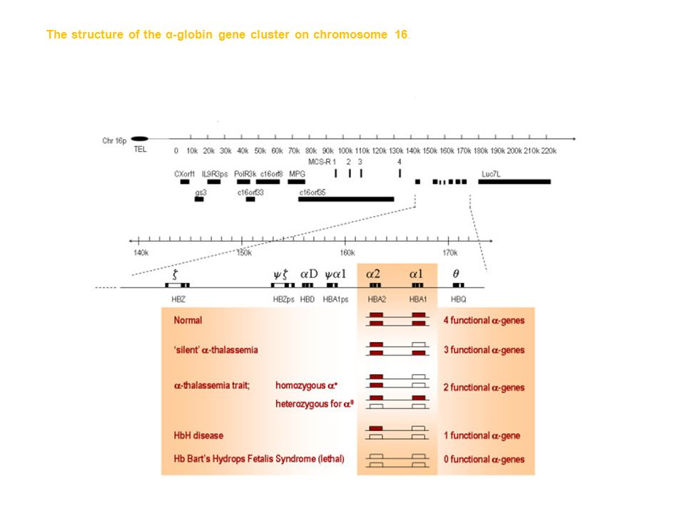 The structure of the α-globin gene cluster on chromosome 16. The telomere is shown as an oval, genes in the region are shown as boxes. The α-globin re