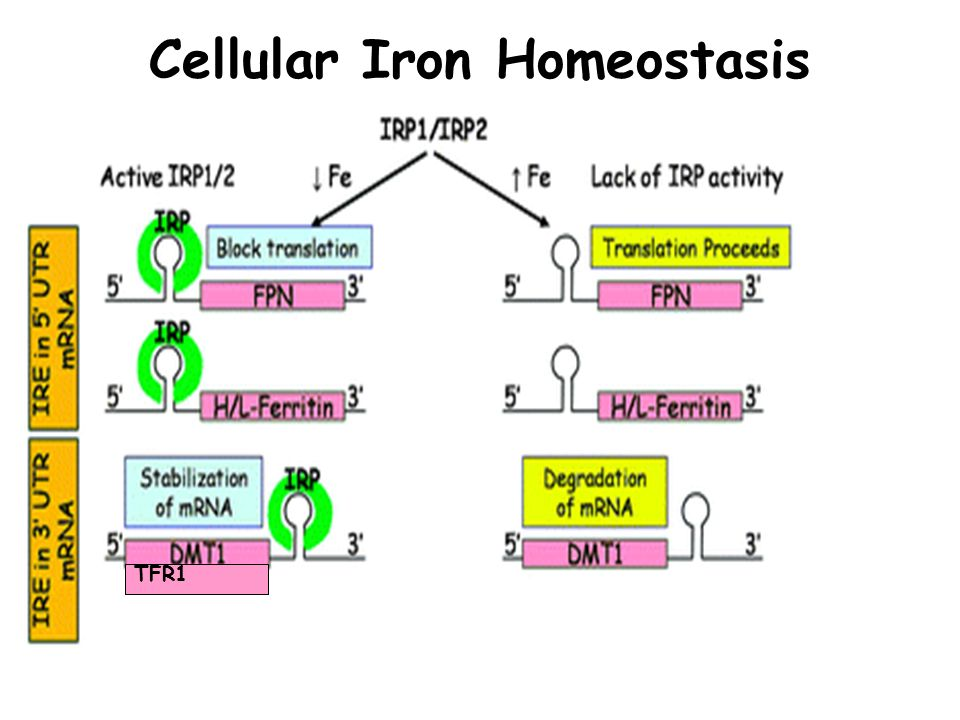 Cellular Iron Homeostasis TFR1