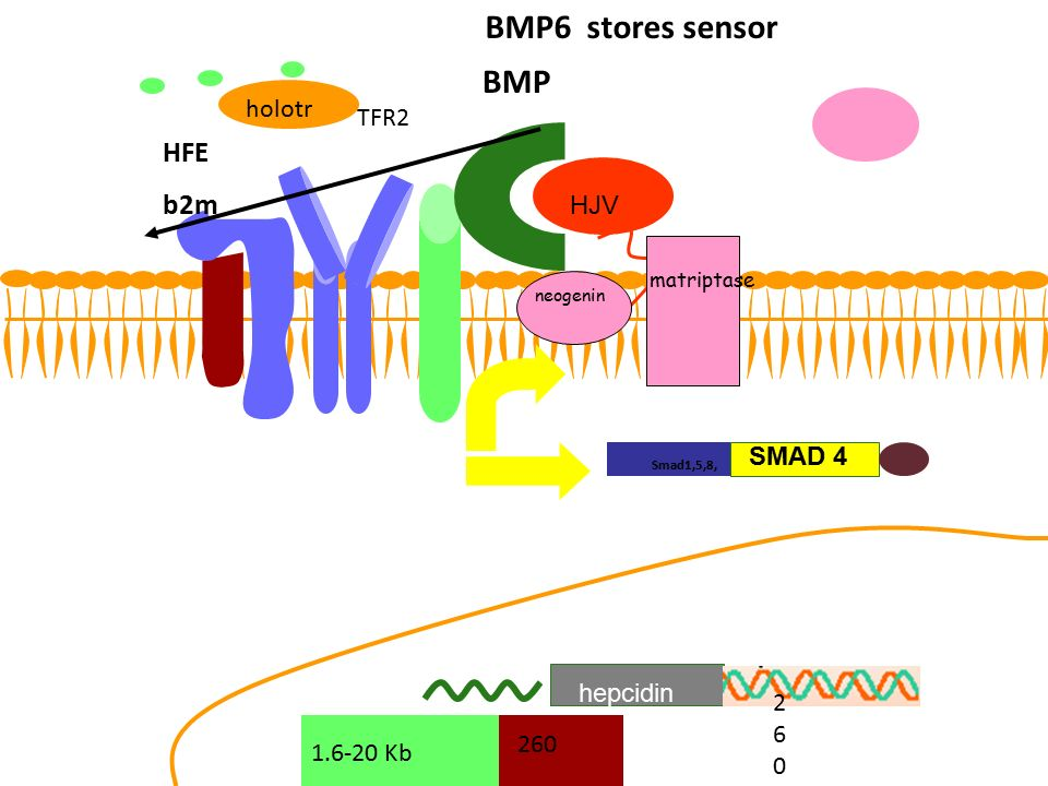 HFE b2m TFR2 BMP BMP6 stores sensor 260260 260260 260 1.6-20 Kb holotr HJV neogenin matriptase hepcidin Smad1,5,8, SMAD 4