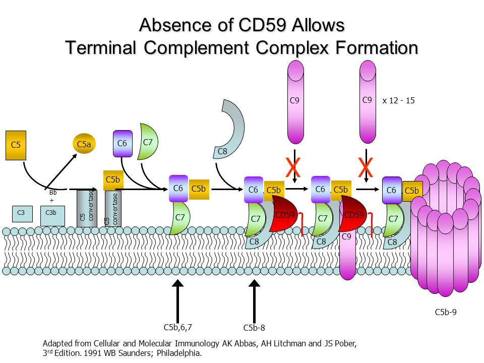 C5b C5 C5a Adapted from Cellular and Molecular Immunology AK Abbas, AH Litchman and JS Pober, 3 rd Edition. 1991 WB Saunders; Philadelphia. C7 C8 C5b