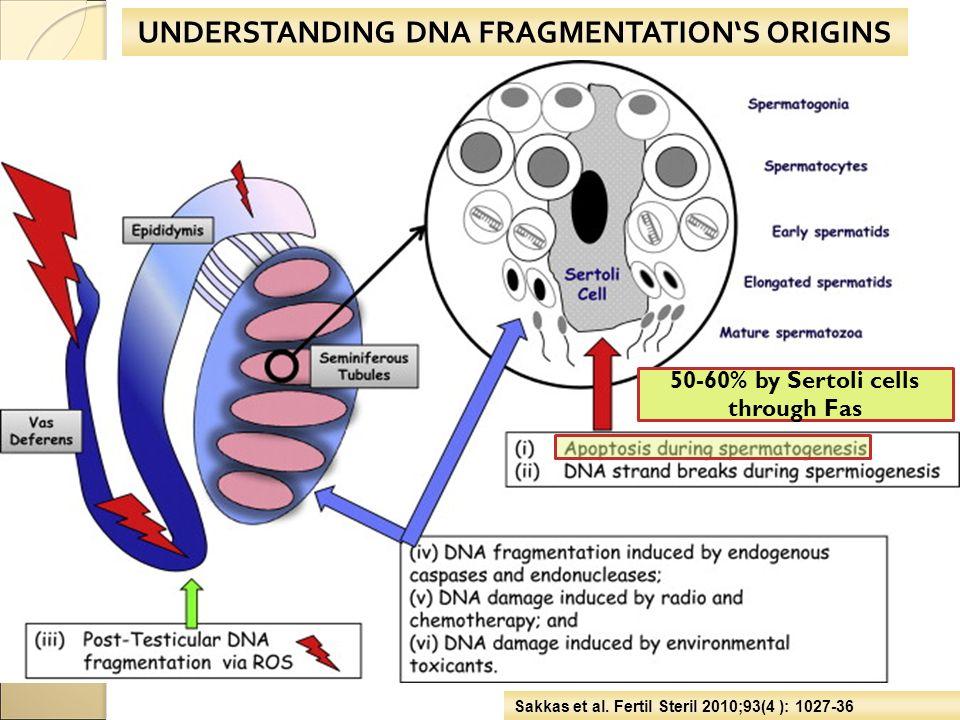 UNDERSTANDING DNA FRAGMENTATION'S ORIGINS Sakkas et al. Fertil Steril 2010;93(4 ): 1027-36 50-60% by Sertoli cells through Fas