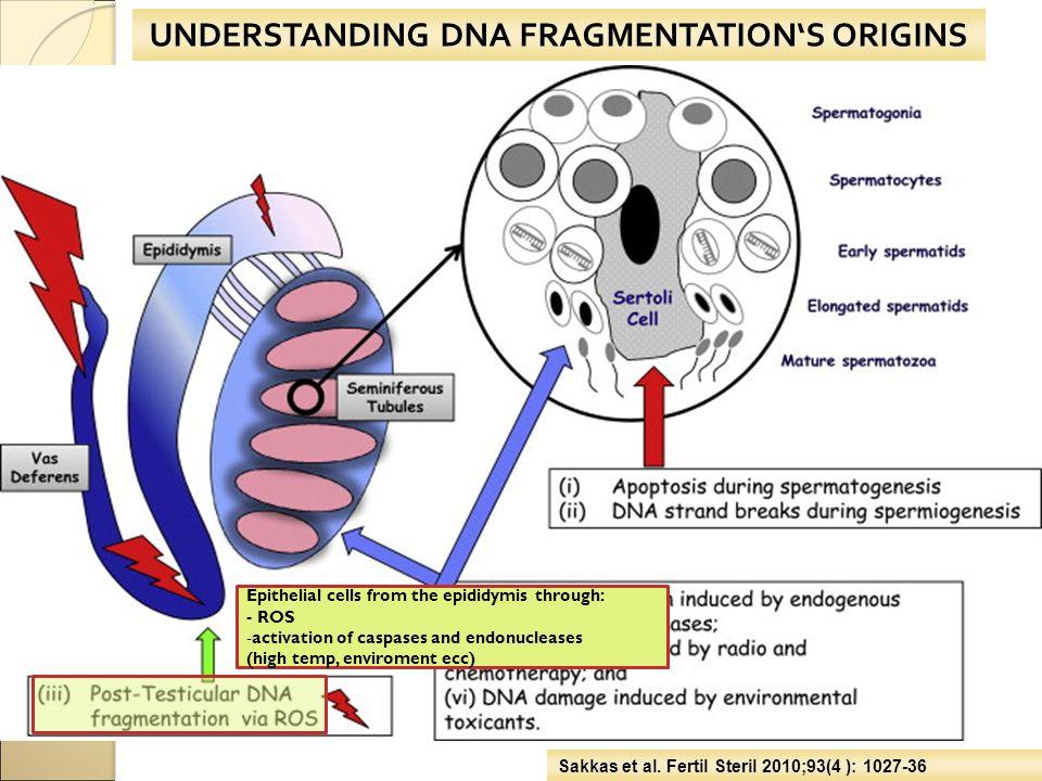 UNDERSTANDING DNA FRAGMENTATION'S ORIGINS Sakkas et al. Fertil Steril 2010;93(4 ): 1027-36 Epithelial cells from the epididymis through: - ROS -activa