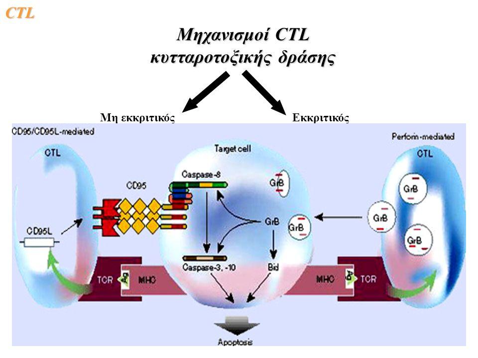 Μηχανισμοί CTL κυτταροτοξικής δράσης Εκκριτικός (perforin, granzymes) Μη εκκριτικός (Fas-Fas ligand) CΤLCΤLCΤLCΤL