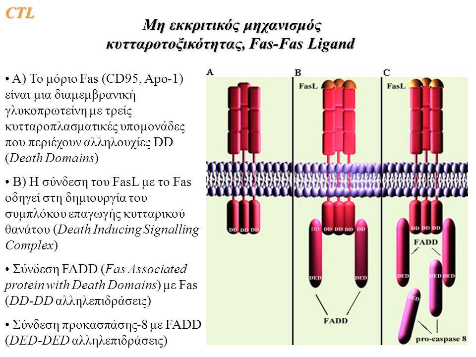 CΤLCΤLCΤLCΤL Μη εκκριτικός μηχανισμός κυτταροτοξικότητας, Fas-Fas Ligand Μη εκκριτικός μηχανισμός κυτταροτοξικότητας, Fas-Fas Ligand A) Το μόριο Fas (CD95, Apo-1) είναι μια διαμεμβρανική γλυκοπρωτείνη με τρείς κυτταροπλασματικές υπομονάδες που περιέχουν αλληλουχίες DD (Death Domains) B) Η σύνδεση του FasL με το Fas οδηγεί στη δημιουργία του συμπλόκου επαγωγής κυτταρικού θανάτου (Death Inducing Signalling Complex) Σύνδεση FADD (Fas Associated protein with Death Domains) με Fas (DD-DD αλληλεπιδράσεις) Σύνδεση προκασπάσης-8 με FADD (DED-DED αλληλεπιδράσεις)