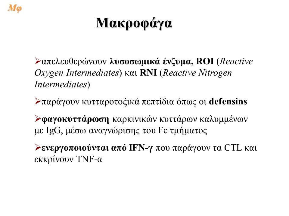   απελευθερώνουν λυσοσωμικά ένζυμα, ROI (Reactive Oxygen Intermediates) και RNI (Reactive Nitrogen Intermediates)   παράγουν κυτταροτοξικά πεπτίδια όπως οι defensins   φαγοκυττάρωση καρκινικών κυττάρων καλυμμένων με IgG, μέσω αναγνώρισης του Fc τμήματος   ενεργοποιούνται από IFN-γ που παράγουν τα CTL και εκκρίνουν TNF-α ΜακροφάγαΜφ