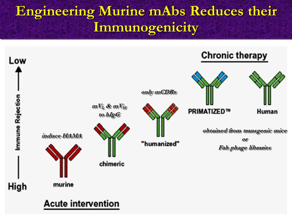 Engineering Murine mAbs Reduces their Immunogenicity induce HAMA mV L & mV H to hIgG mV L & mV H to hIgG only mCDRs obtained from transgenic mice or Fab phage libraries obtained from transgenic mice or Fab phage libraries