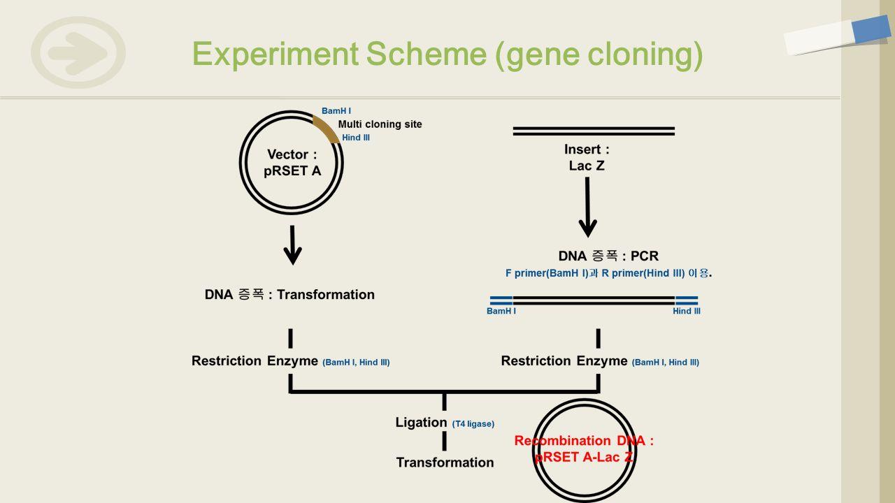 Experiment Scheme (gene cloning)