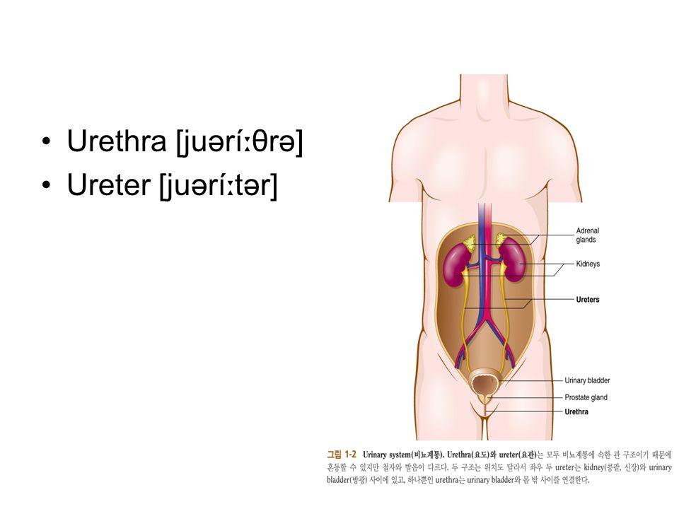 Urethra [juərí ː θrə] Ureter [juərí ː tər]
