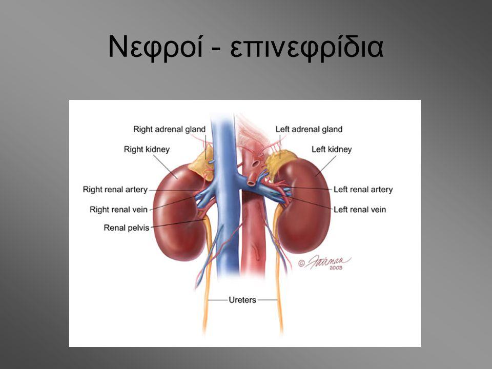 Νεφροί - επινεφρίδια