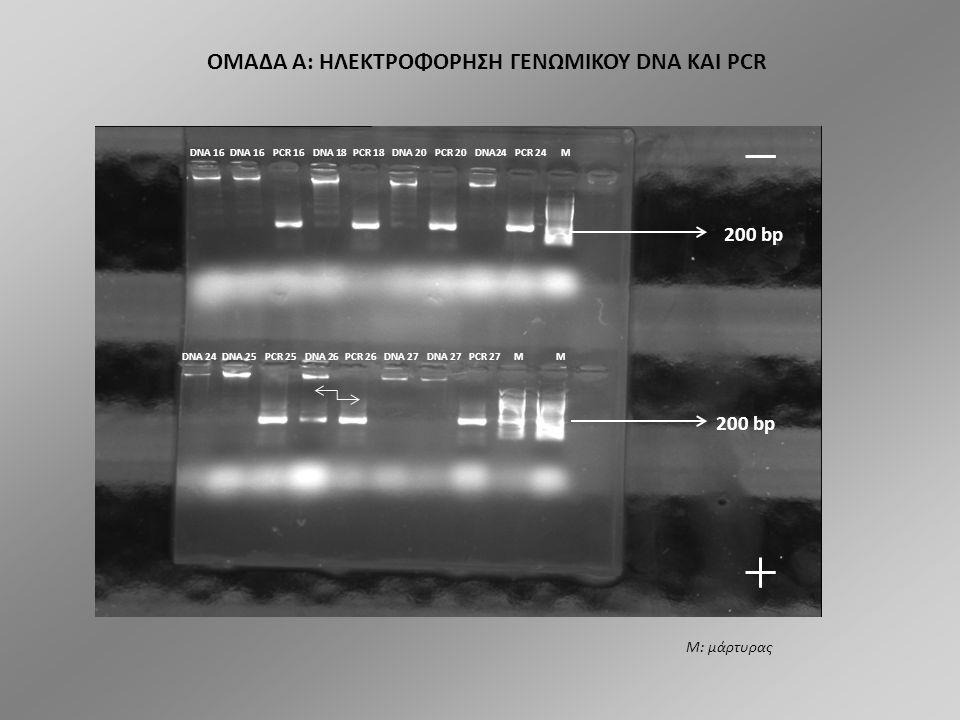 ΟΜΑΔΑ A: ΗΛΕΚΤΡΟΦΟΡΗΣΗ ΓΕΝΩΜΙΚΟΥ DNA ΚΑΙ PCR DNA 21 PCR 21 DNA 22 PCR 22 DNA 23 PCR 23 M 200 bp DNA 28 PCR 28 DNA 31 PCR 31 DNA 32 PCR 32 DNA 28 M Μ: μάρτυρας
