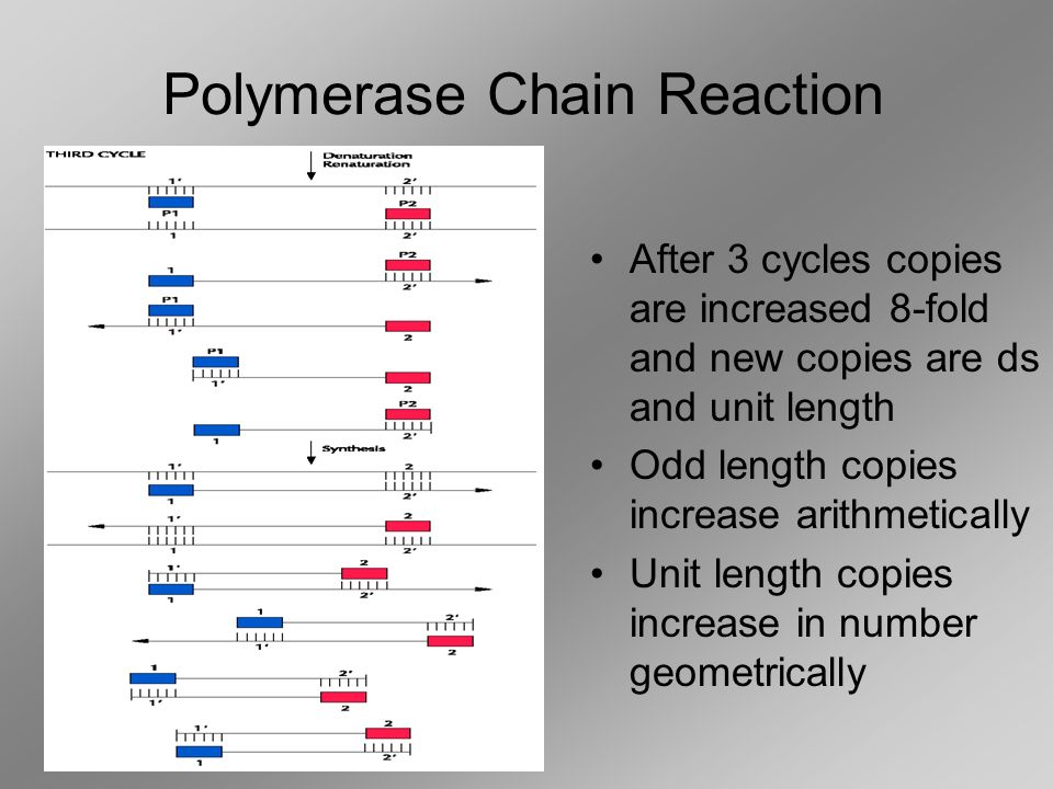 After 1 cycle copies double After 2 cycles copied doubled and new strand is unit length (goes only from primer to primer) Polymerase Chain Reactio
