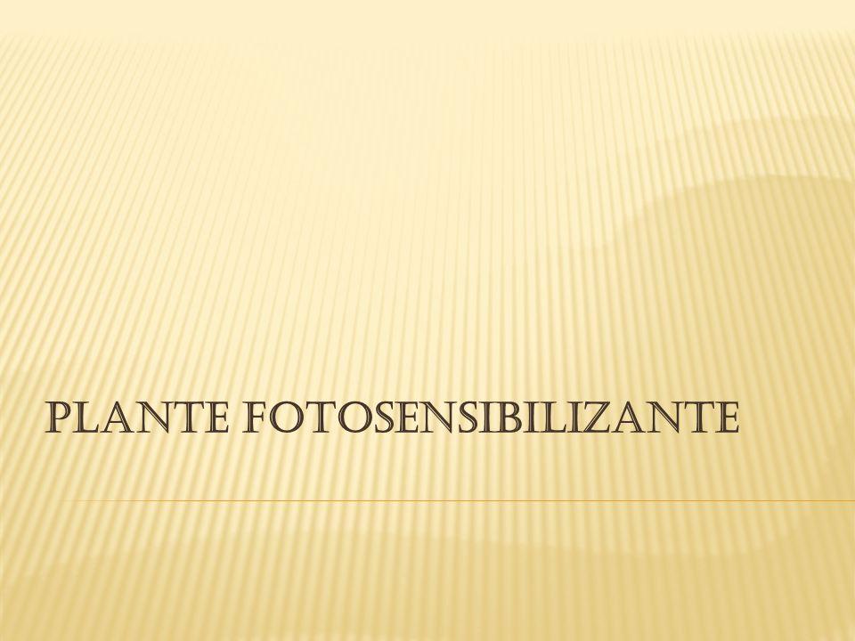 PLANTE FOTOSENSIBILIZANTE