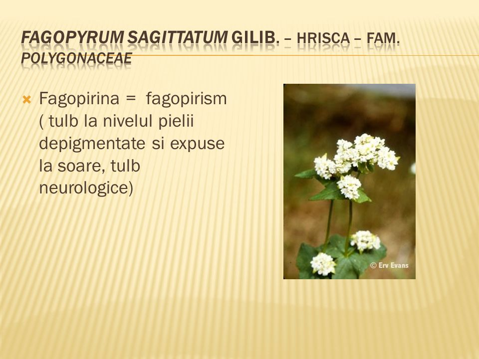  Fagopirina = fagopirism ( tulb la nivelul pielii depigmentate si expuse la soare, tulb neurologice)