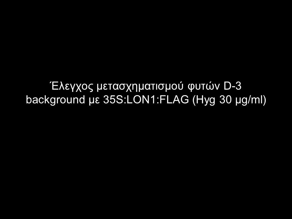 Έλεγχος μετασχηματισμού φυτών D-3 background με 35S:LON1:FLAG (Hyg 30 μg/ml)