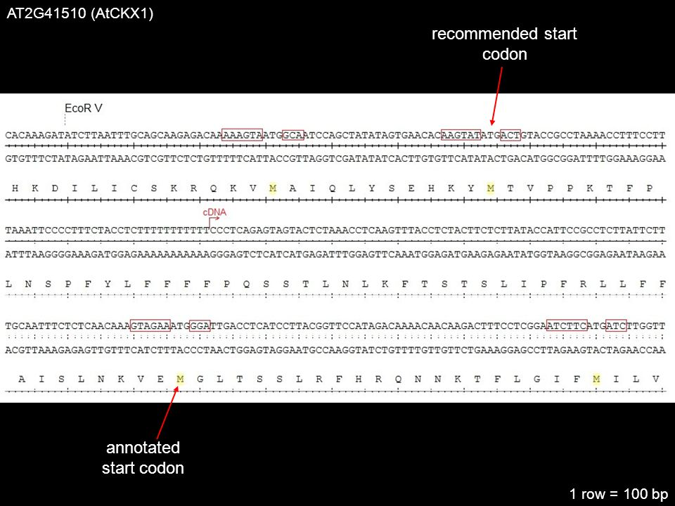 AT2G41510 (AtCKX1) recommended start codon annotated start codon 1 row = 100 bp
