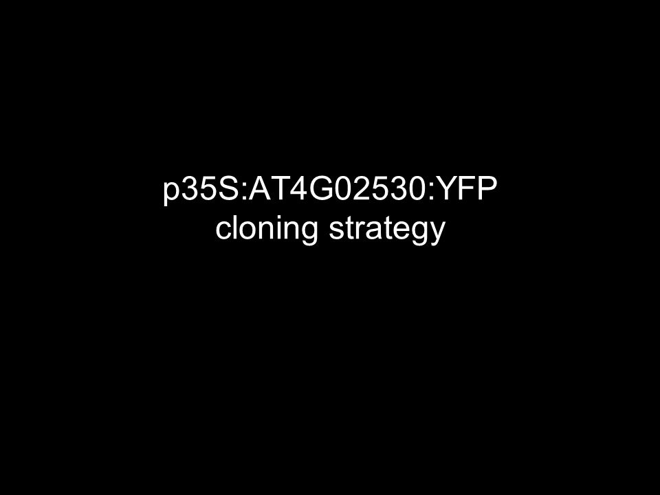 p35S:AT4G02530:YFP cloning strategy