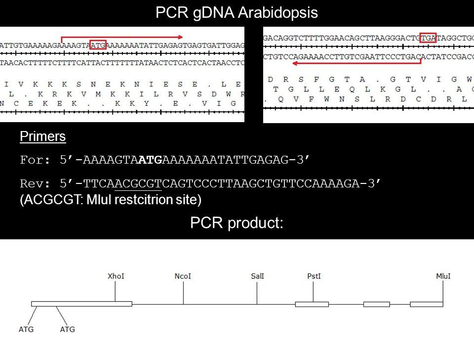 Primers For: 5'-AAAAGTAATGAAAAAAATATTGAGAG-3' Rev: 5'-TTCAACGCGTCAGTCCCTTAAGCTGTTCCAAAAGA-3' (ACGCGT: MluI restcitrion site) PCR gDNA Arabidopsis PCR