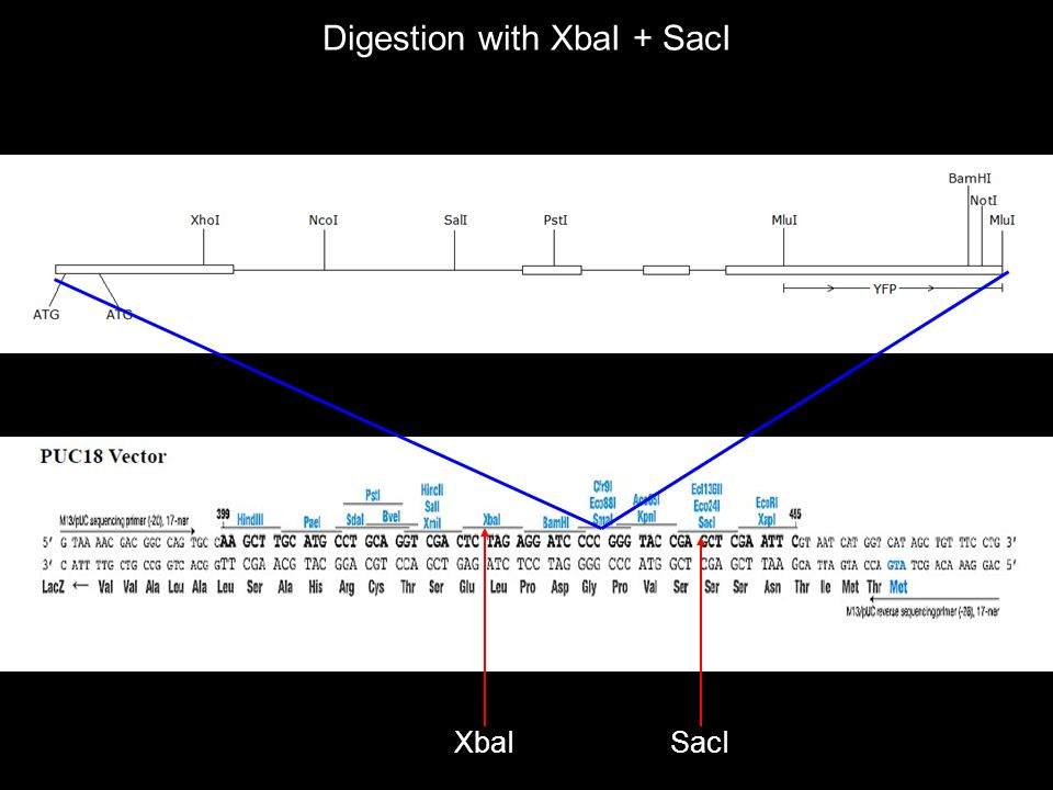 XbaISacI Digestion with XbaI + SacI