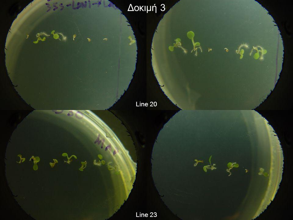 Δοκιμή 3 Βιώσιμα φυτά (8η ημέρα): Line 15: 5/12 (ή 41,67%) Line 16: 10/12 (ή 83,33%) Line 19: 3/11 (ή 27,27%) Line 20: 6/12 (ή 50%) Line 23: 7/12 (ή 58,33%)