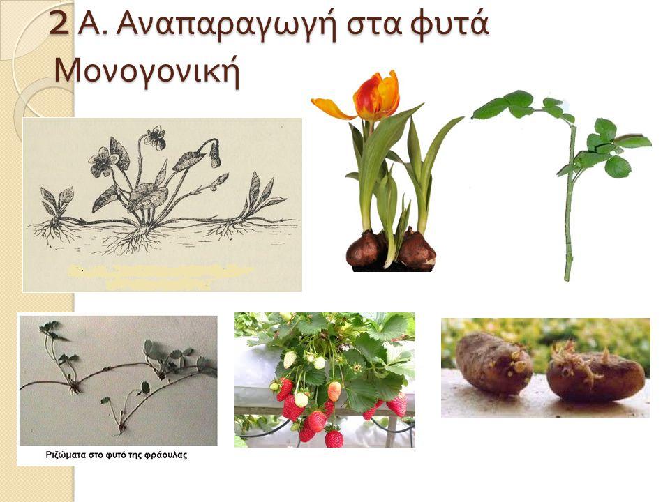 2 Α. Αναπαραγωγή στα φυτά Μονογονική