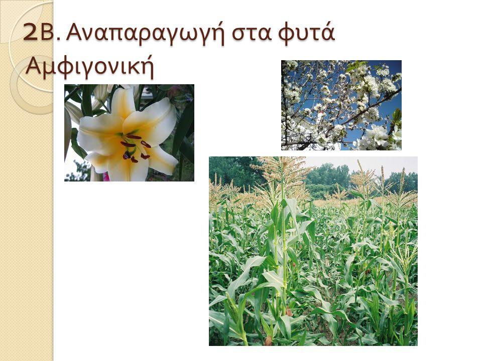 2 Β. Αναπαραγωγή στα φυτά Αμφιγονική