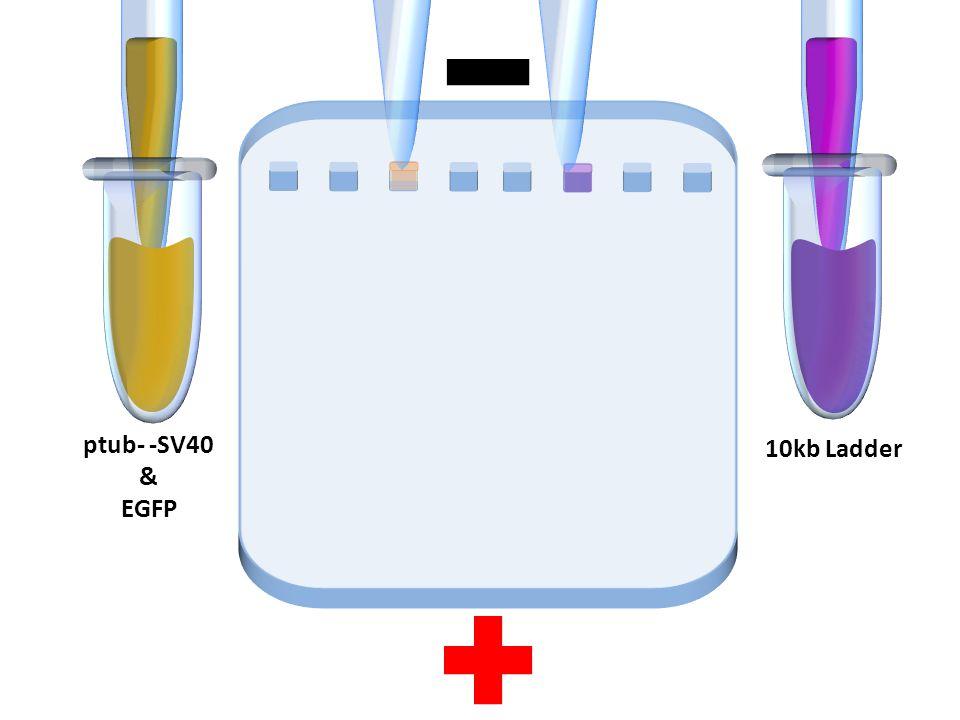 ptub- -SV40 & EGFP 10kb Ladder