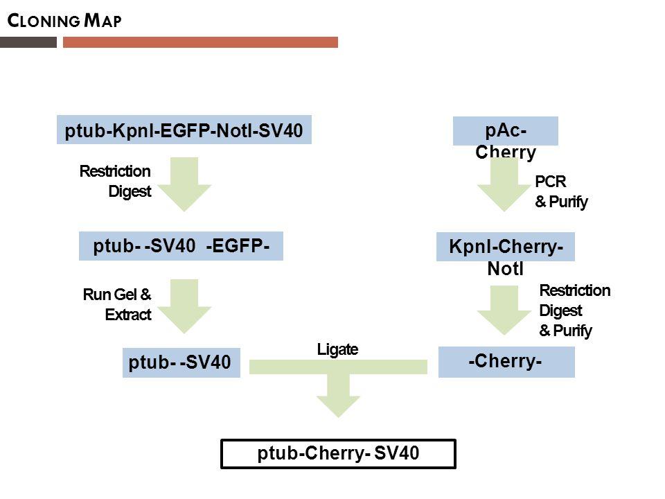 C LONING M AP pAc- Cherry KpnI-Cherry- NotI ptub-KpnI-EGFP-NotI-SV40 ptub- -SV40 -EGFP- -Cherry- ptub- -SV40 ptub-Cherry- SV40 PCR & Purify Restrictio