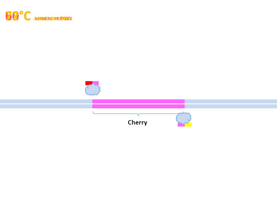 95°C DENATURE 60°C ANNEAL PRIMERS 72°C REPLICATE DNA Cherry