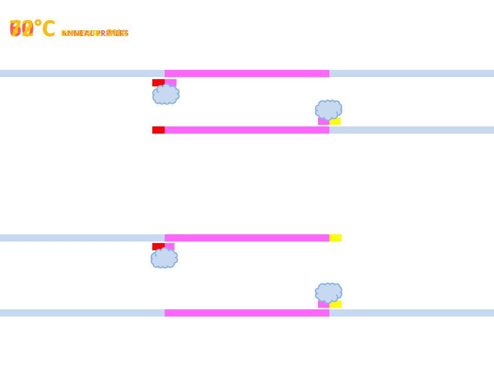 95°C DENATURE 60°C ANNEAL PRIMERS 72°C REPLICATE DNA