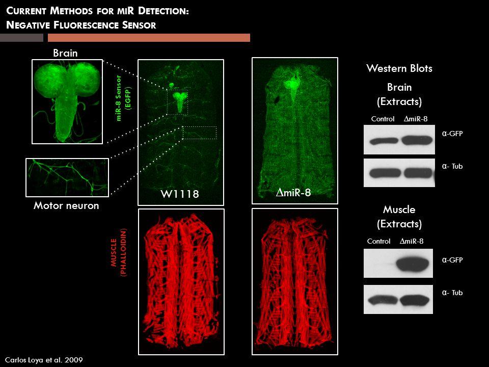 miR-8 Sensor (EGFP) MUSCLE (PHALLOIDIN) W1118 miR-8 C URRENT M ETHODS FOR MI R D ETECTION : N EGATIVE F LUORESCENCE S ENSOR Motor neuron Brain (Extrac