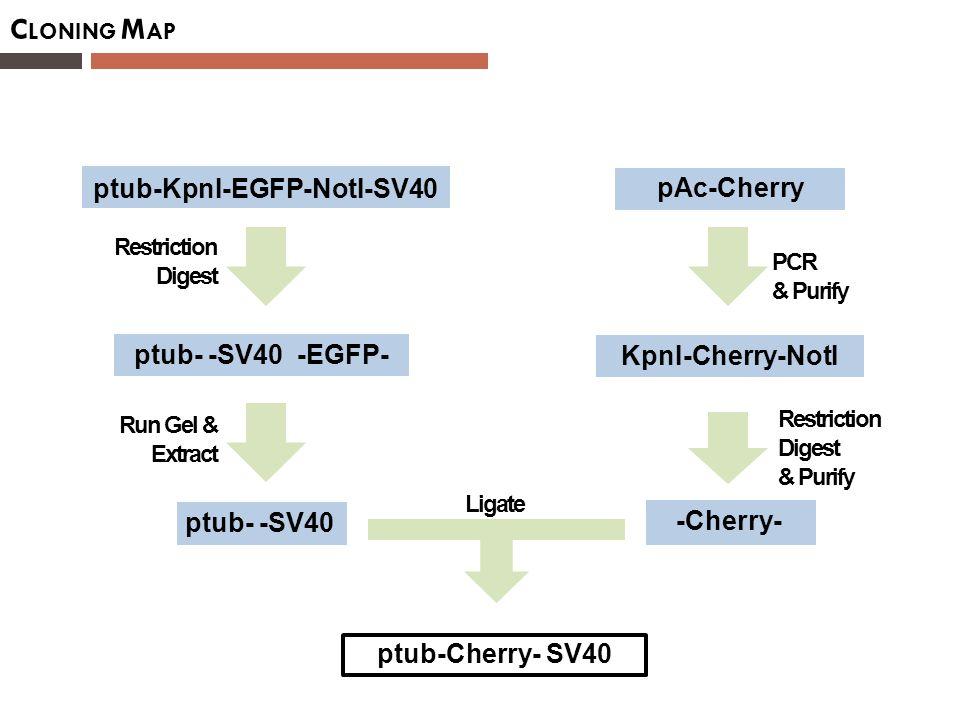 C LONING M AP pAc-Cherry KpnI-Cherry-NotI ptub-KpnI-EGFP-NotI-SV40 ptub- -SV40 -EGFP- -Cherry- ptub- -SV40 ptub-Cherry- SV40 PCR & Purify Restriction