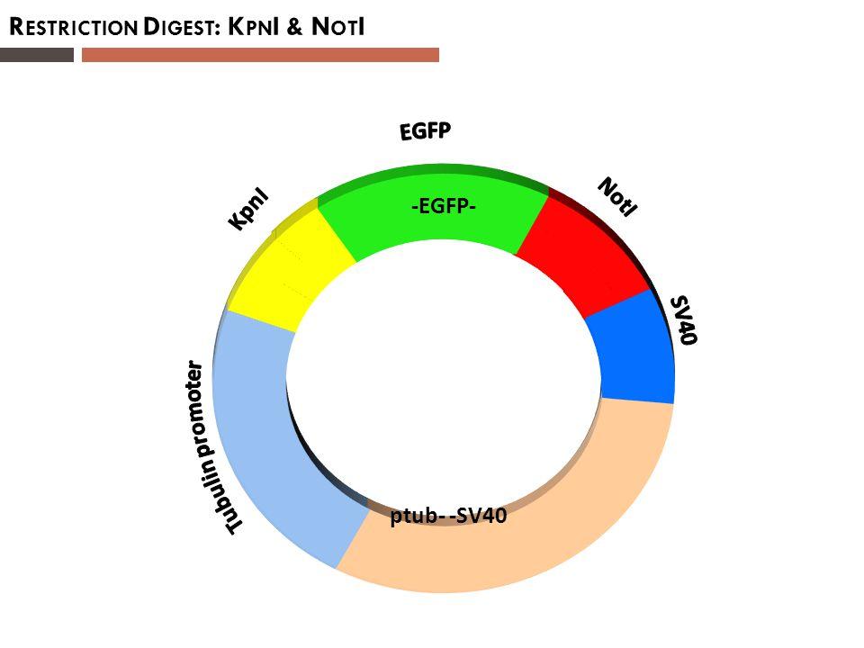R ESTRICTION D IGEST : K PN I & N OT I ptub- -SV40 -EGFP-
