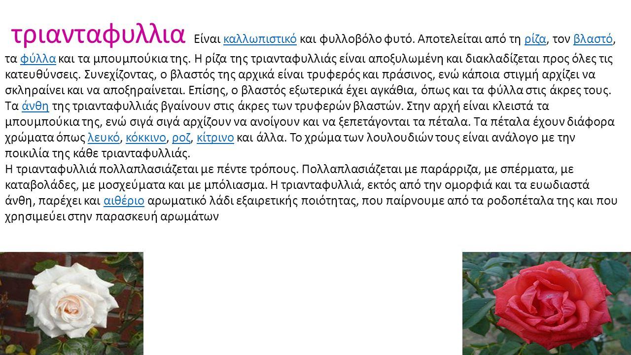 τριανταφυλλια Είναι καλλωπιστικό και φυλλοβόλο φυτό. Αποτελείται από τη ρίζα, τον βλαστό, τα φύλλα και τα μπουμπούκια της. Η ρίζα της τριανταφυλλιάς ε